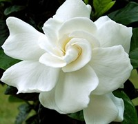 August Beauty Gardenia Picture