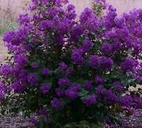 Purple Velvet Dwarf Crape Myrtle Picture