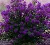 Purple Velvet Dwarf Crape Myrtle