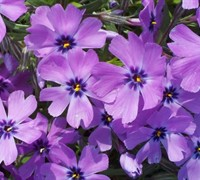 Purple Beauty Creeping Phlox Picture