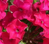 Peacock Cherry Red Garden Phlox Picture