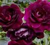 Burgundy Iceberg Floribunda Rose