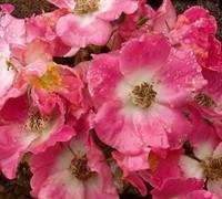 American Pillar Rambler Rose Picture