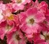 American Pillar Rambler Rose