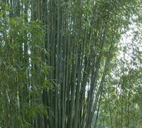 Red Margin Bamboo Picture