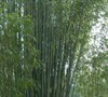 Red Margin Bamboo
