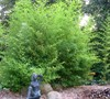 Bissett Bamboo