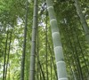 Moso Timber Bamboo