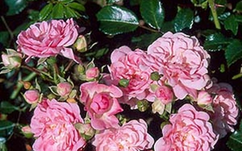 The Fairy Climbing Rose