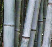 Henon Giant Gray Bamboo Picture