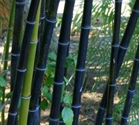 Black Bamboo Picture