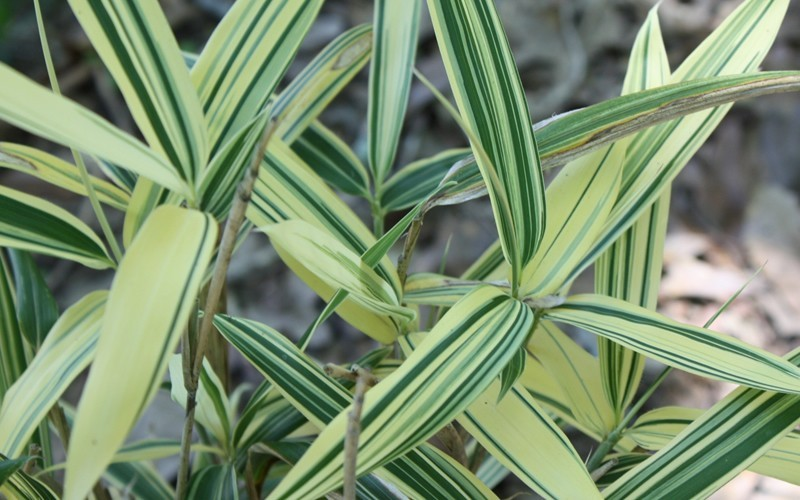 Dwarf Variegated Bamboo Picture