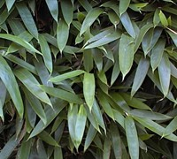 Broadleaf Bamboo Picture