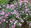 The Fairy Climbing Polyantha Rose