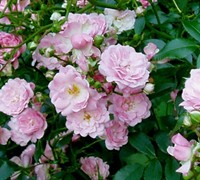 The Fairy Climbing Polyantha Rose Picture