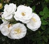 Barfield White Climber Rose