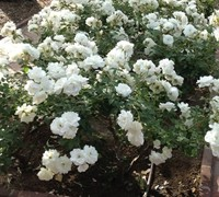 Iceberg Floribunda Rose Picture