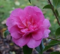 Sparkling Burgundy Camellia Picture
