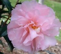 Cotton Candy Camellia Sasanqua Picture