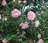 Cotton Candy Camellia Sasanqua