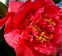 Kramers Supreme Camellia Picture