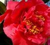 Kramers Supreme Camellia