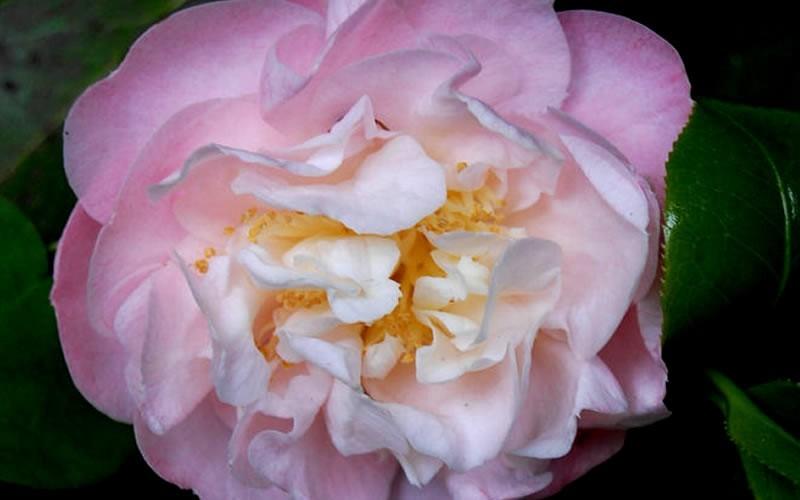 Nina Avery Camellia Picture