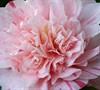 Kick-Off Camellia