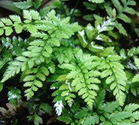Korean Rock Fern Picture