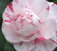 La Peppermint Camellia Picture