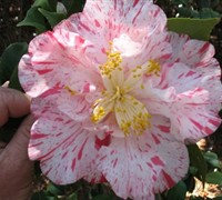 Rebel Yell Camellia Picture