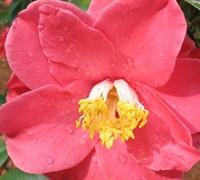 Jesse Burgess Camellia Picture