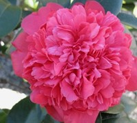 Laura Walker Camellia Picture