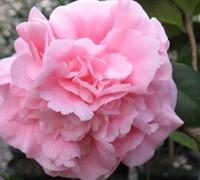 Debutante Camellia Picture