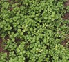 Picture about Is This Invasive But Pretty Green Weed Chickweed?