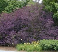 Royal Purple Smoke Tree Picture