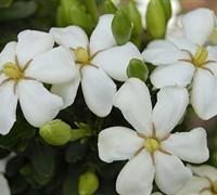 Heaven Scent Gardenia Picture