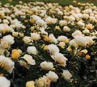 Popcorn Drift Rose Picture
