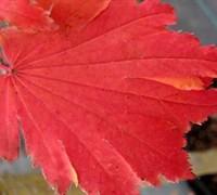 Emmett's Pumpkin Full Moon Japanese Maple Picture