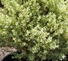 Dwarf Variegated Boxwood