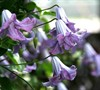 Betty Corning Viticella Clematis