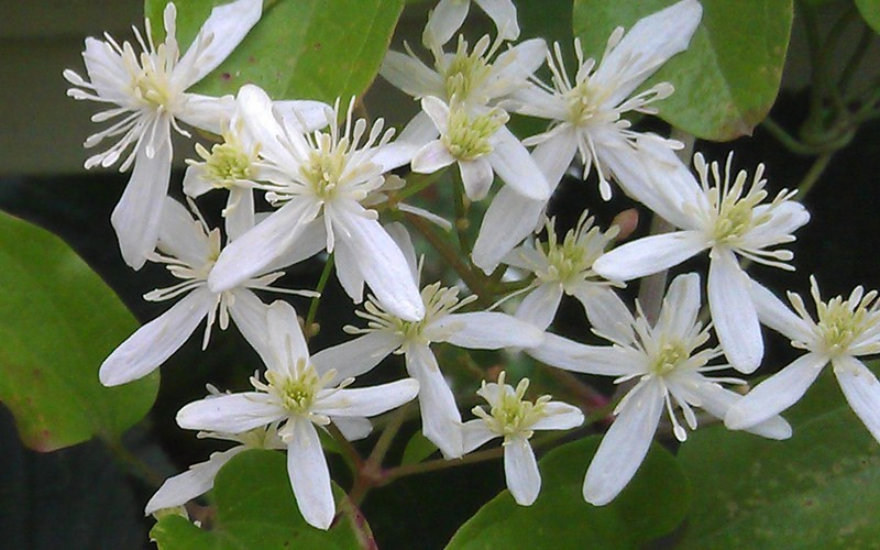 Sweet Autumn Clematis Picture