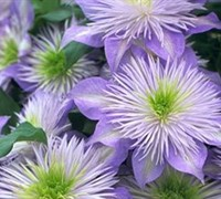 Crystal Fountain Clematis Picture