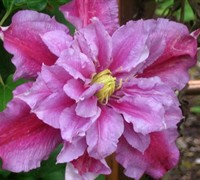 Piilu Clematis Picture