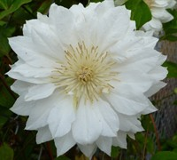 Duchess Of Edinburgh Clematis Picture