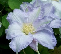 Ice Blue Clematis Picture