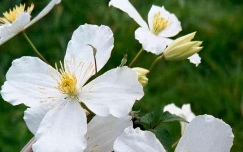 Montana Grandiflora Clematis