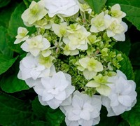 Double Delights Wedding Gown Hydrangea Picture