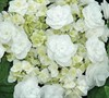 Double Delights Wedding Gown Hydrangea