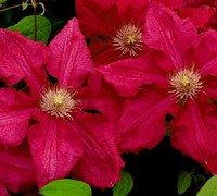 Ernest Markham Clematis Picture